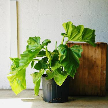 """Philodendron """"Wilsonii"""""""