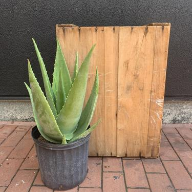 "Aloe ""Tomentosa"""