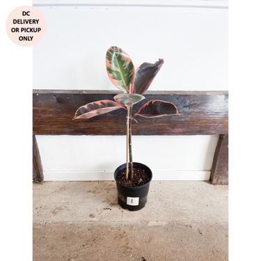"TLC 10"" Ruby Rubber Plant"