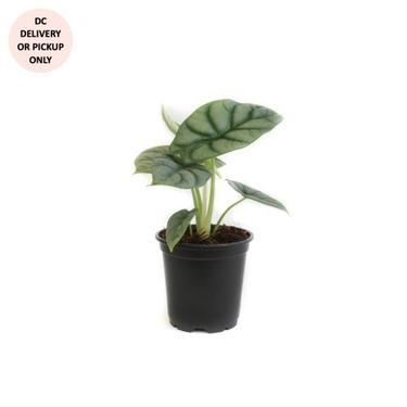 Alocasia Silver Dragon Plant