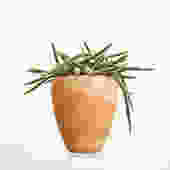 Potted Rattail Cactus