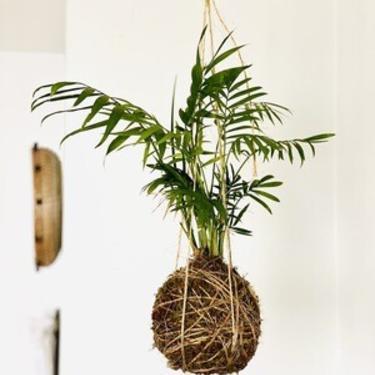 Parlor Palm Kokedama