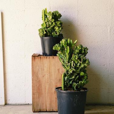 """Euphorbia """"Brain Cactus"""""""