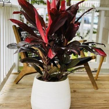 Cordyline - Plant Only