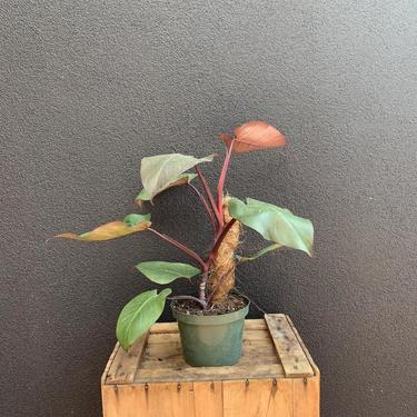 """Philodendron """"Merlot"""""""