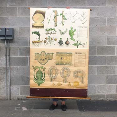 Vintage Antonio Vallardi Roll Chart 1950s Retro Size 61x44 Stem + Leaf + Flower Morphology + School or Teaching + Italian Made + Wall Decor by RetrospectVintage215