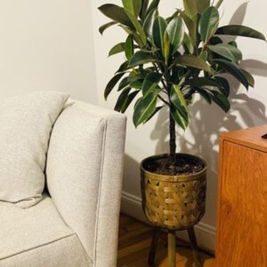 Ficus 'Melany' tree in Basket