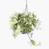 assorted pothos (package E)