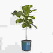 Potted Fiddle Leaf Fig