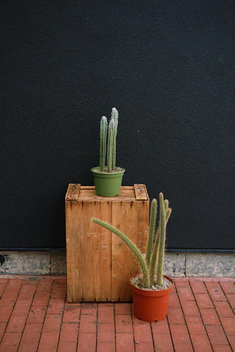 Pilocereus Cactus