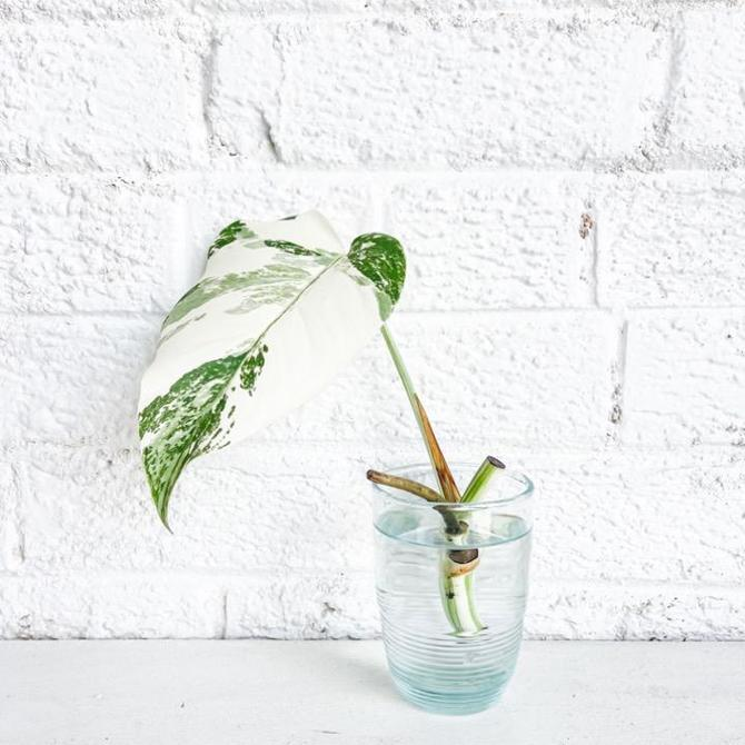 Variegated Monstera Clipping to Benefit The Trevor Project