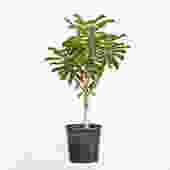 BIG Euphorbia Drupifera