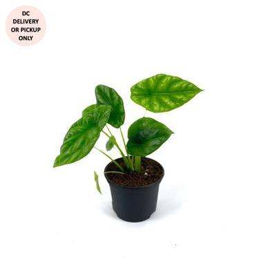 Alocasia Mirror Face Plant