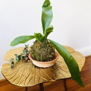 Staghorn Fern Kokedama With Saucer