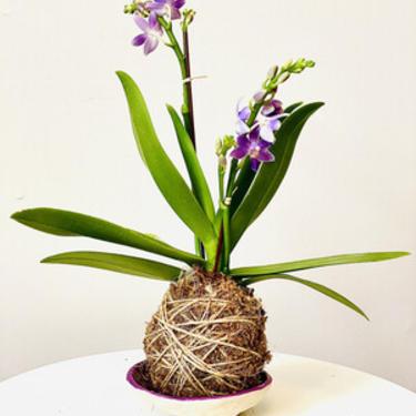 Purple Orchid Kokedama in Purple