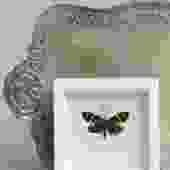 Framed Day Moth