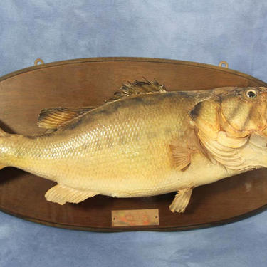 """Vintage 22"""" Taxidermy Large Mouth Bass Wall Decor, 1970s Man Cave Fishing Decor Hunting Lodge Fisherman by VintageGoofball"""