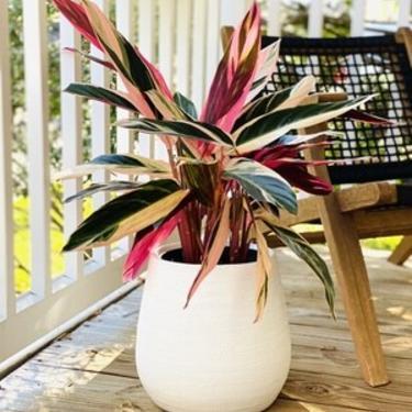 Stromanthe Triostar in White Ceramic Planter