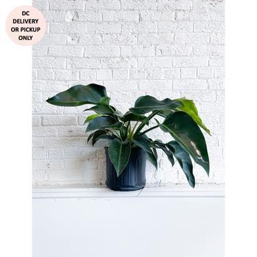 "TLC 10"" Philodendron Congo"