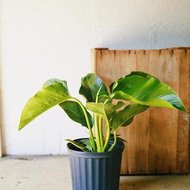 "Philodendron ""Green Congo"""