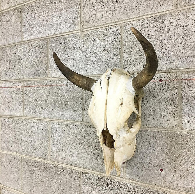 LOCAL PICKUP ONLY Vintage Cow Skull Retro 1970s White Bone Bull Head with Two Horns and Teeth Animal Taxidermy Wall Mount Decor by RetrospectVintage215