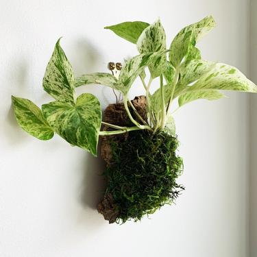 Small Mounted Marble Queen Pothos by JungleandLoom