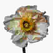 Iceland Poppy (E) by Michael Zeppetello