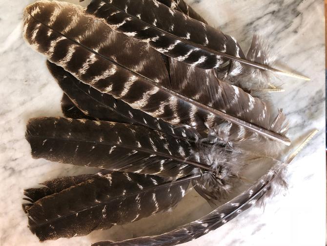 Wild Turkey Feather by AnticaMarket