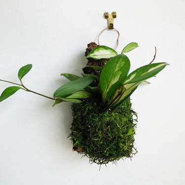 Small Mounted Tri-Color Hoya by JungleandLoom